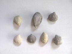 Eumetria vera brachiopods.jpg