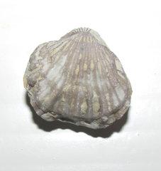 Anastrophia grossa Brachiopod a.jpg