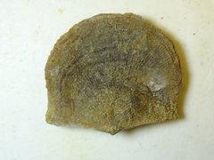 Brachiopod - Schellwienella-sp a.jpg