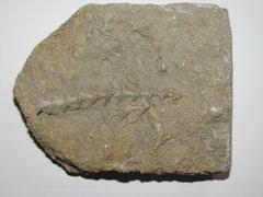 Archimedes bryzoan in matrix, rev crinoid spine a.JPG