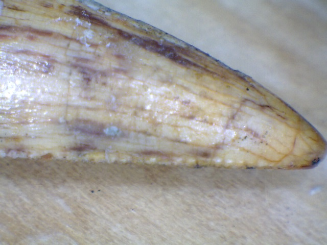 Tooth ID serations from side.jpg