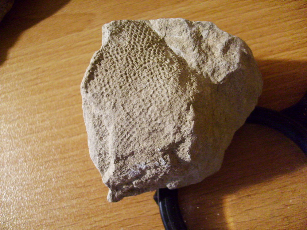 Early Cretaceous sponge 3.JPG