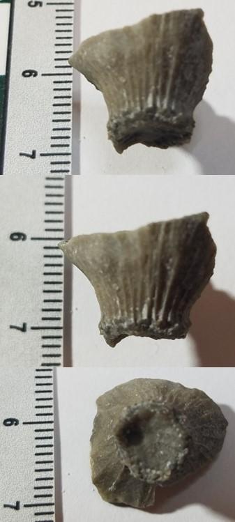 BryozoanHoldfast.jpg.905226696849cd601f49060e7e68ffdb.jpg