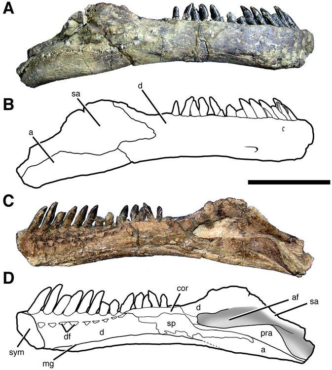 Right_mandibular_ramus_of_Sarmientosaurus1.jpg