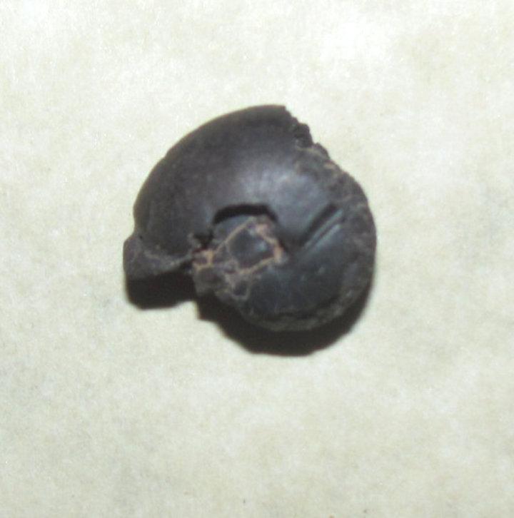 Goniatites Ammonite a.jpg