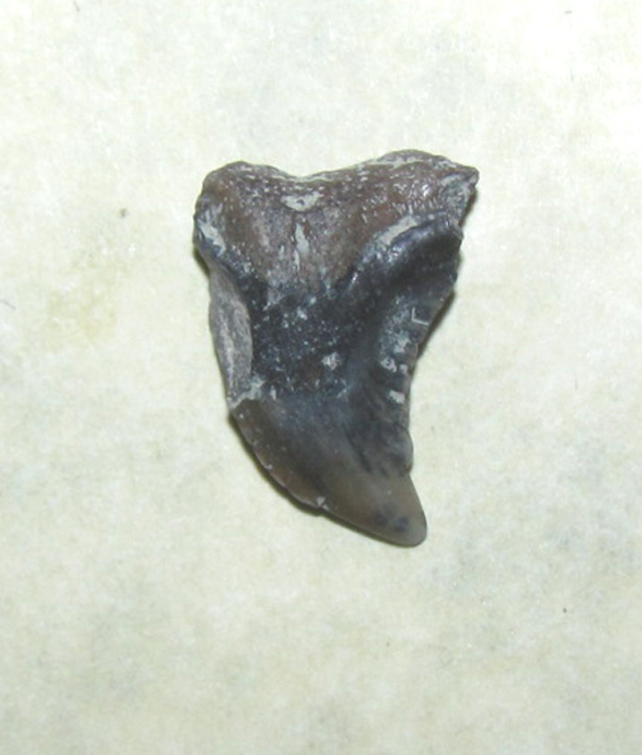 Hemipristis serra (Snaggletooth shark) Tooth side a.JPG