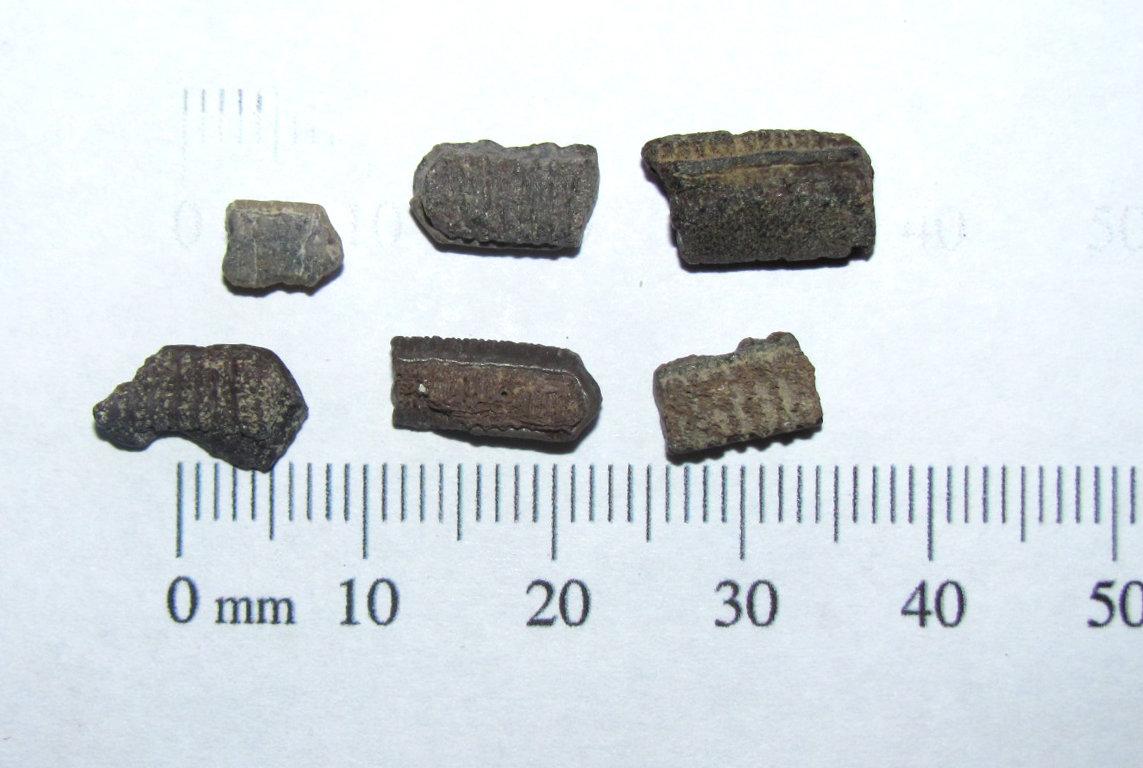 Myliobatis sp. dental plates.JPG