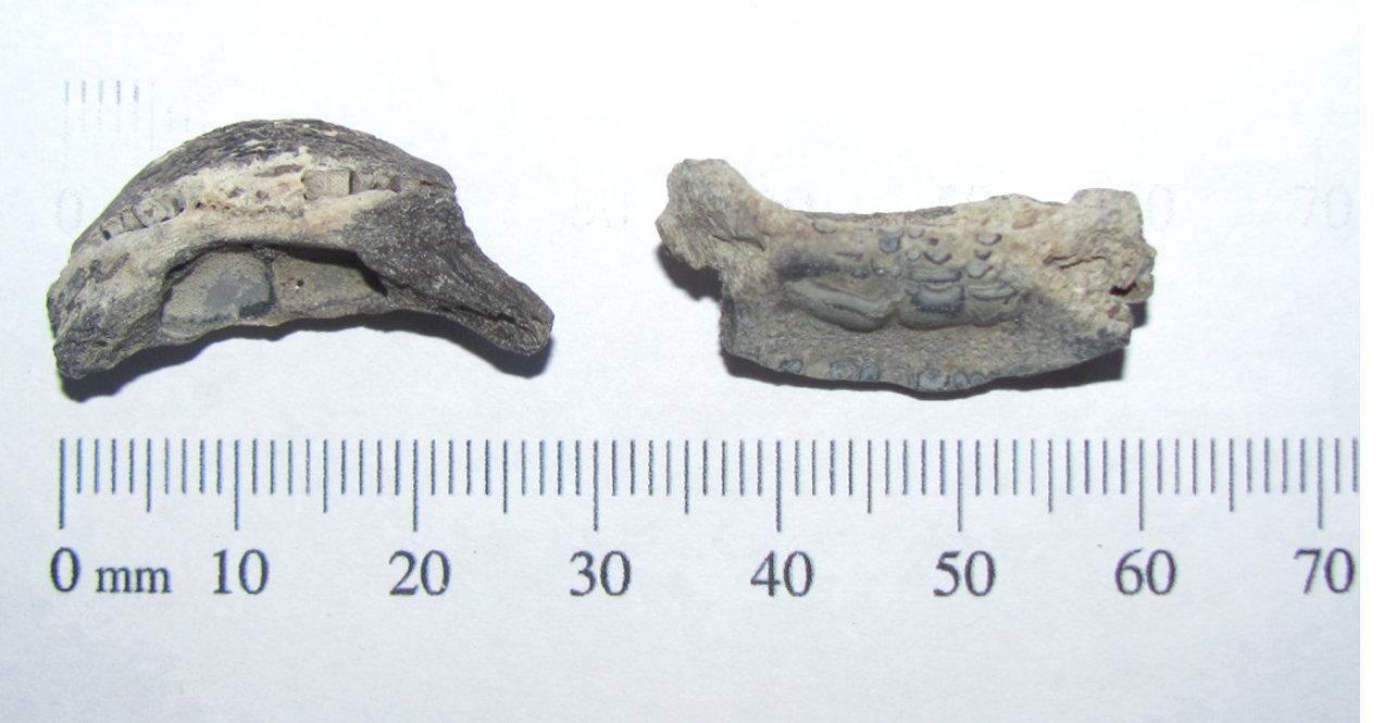 Chilomycterus (burrfish) mouth plate a.JPG