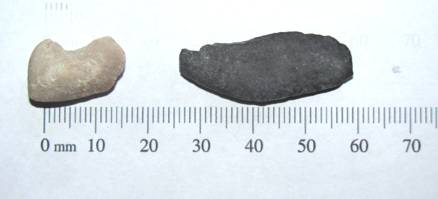 Tetraodontidae (Puffer fish) gill plates a.JPG