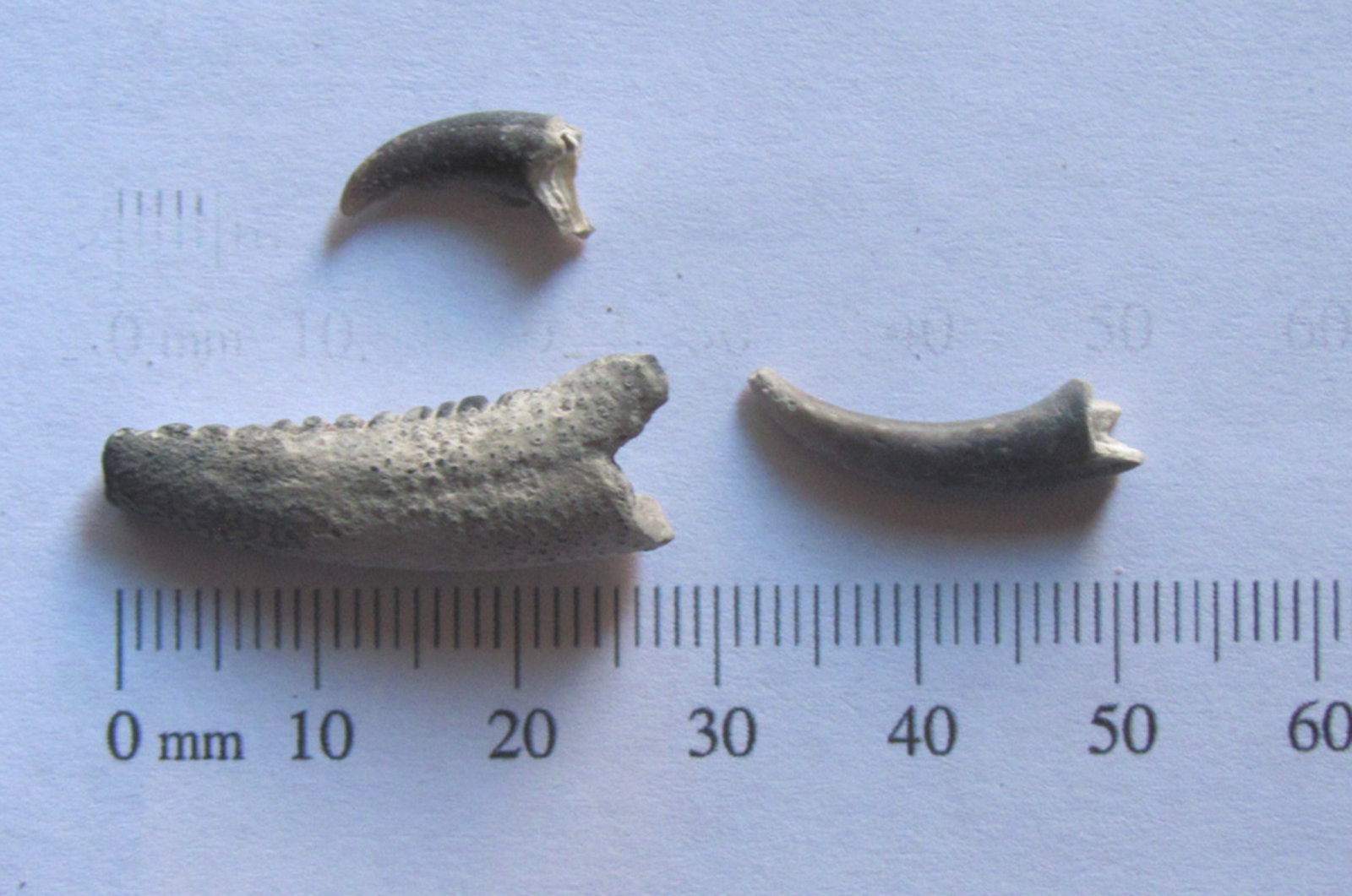 Fossil Crab Claws a.JPG