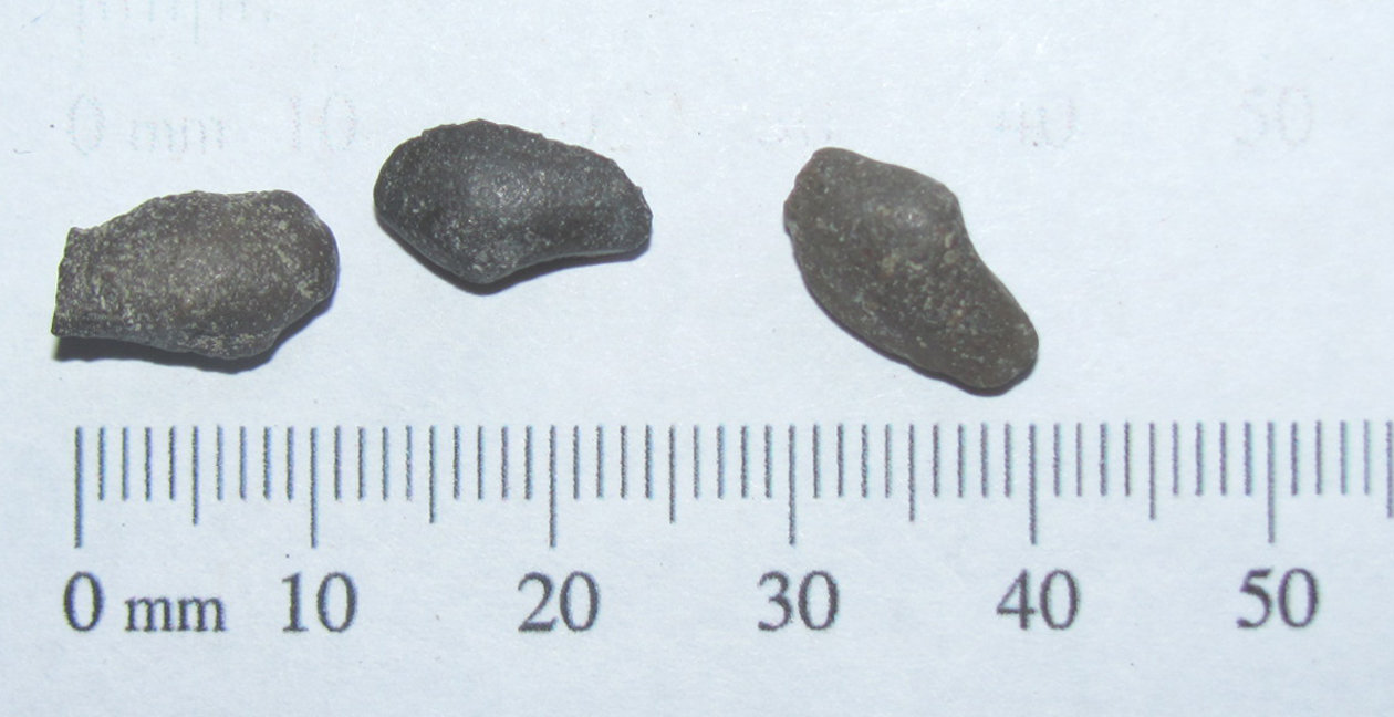 Clam Cast Fossils a.JPG