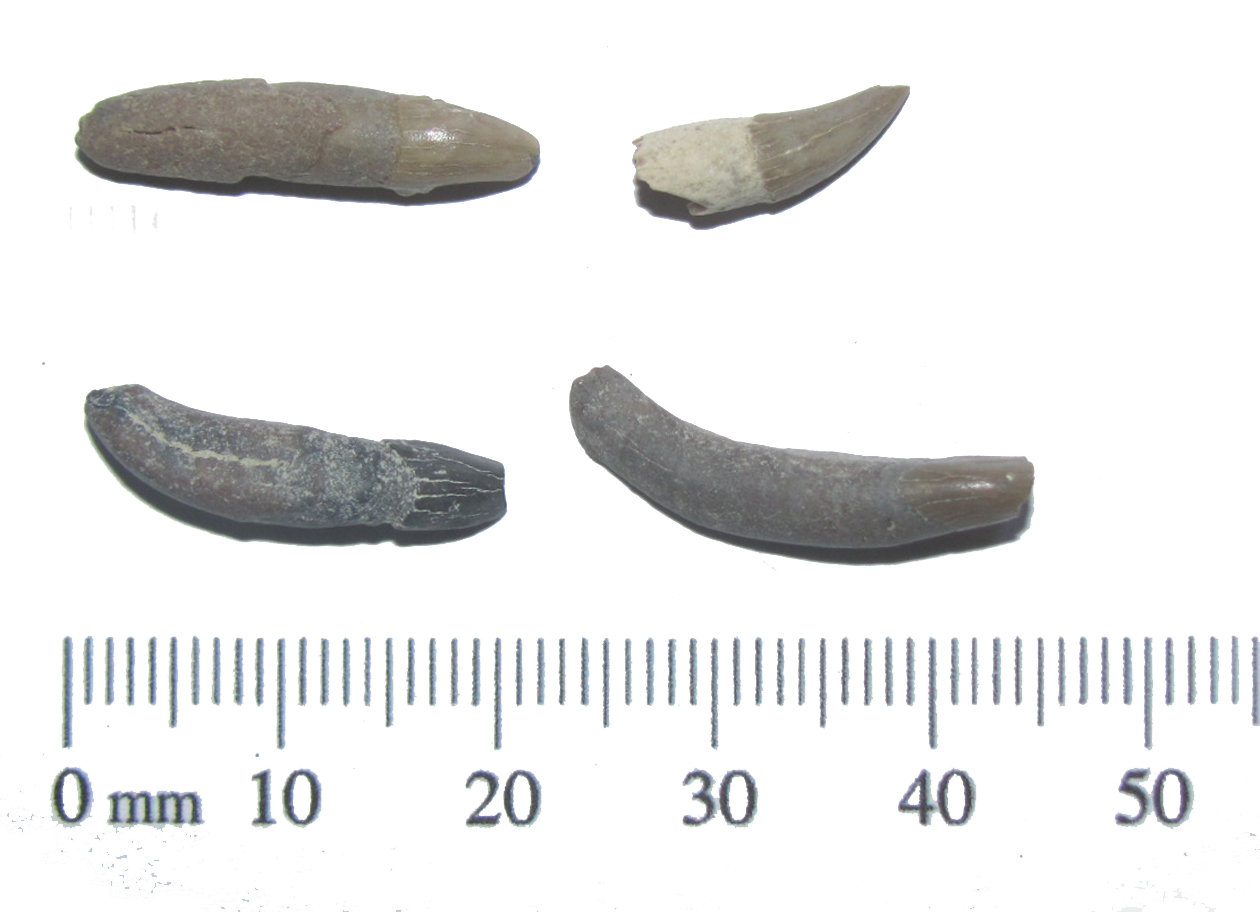 Dolphin Teeth Fossils.JPG