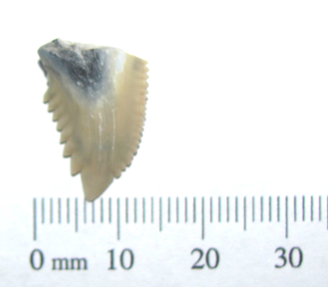 Hemipristis serra SHARK TOOTH section 1a.JPG