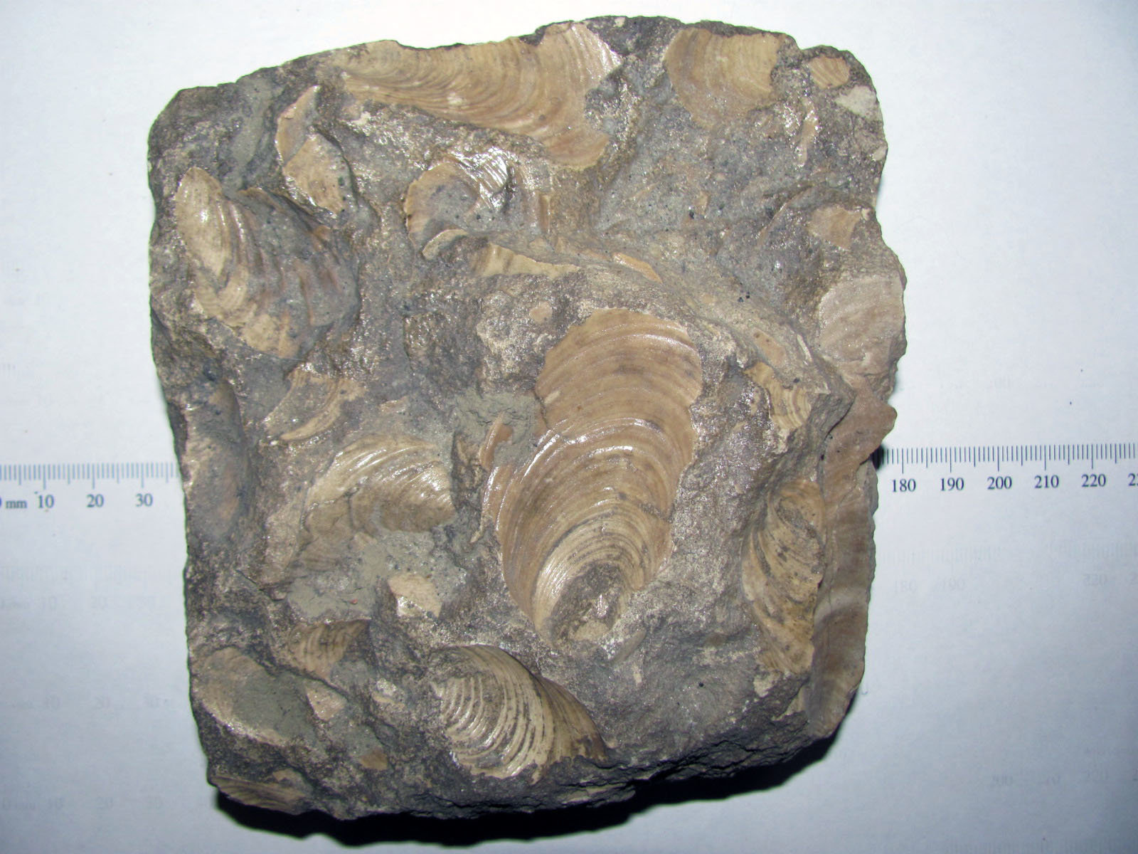 Inoceramus  Bivalves 1 side a.JPG