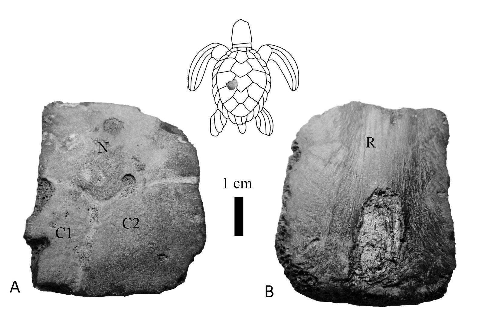 Kyiv turtle, 3 associated scutes