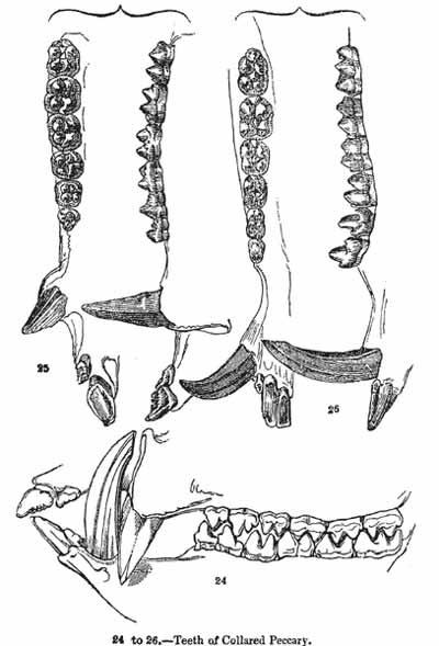 peccary-dentition-Charles-Knight-1849-Aug-2011.jpg