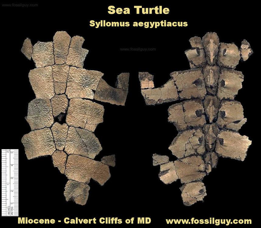 sea-turtle-shell-calvert.thumb.jpg.6bfaf10c44f47703aab0df6d66f490ca.jpg