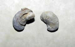 Ilymatogyra ram's horn oyster fossil.jpg