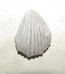 Neithea or Pecten Fossil a.jpg