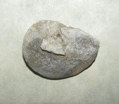 Phragmolites fimbriata Gastropod a.jpg