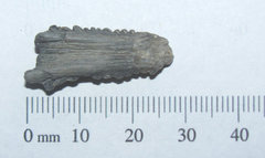 Ray Stinger Barb fossil a.JPG