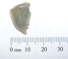 Hemipristis serra SHARK TOOTH section 1a.JPG