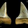 Carcharodon hastalis