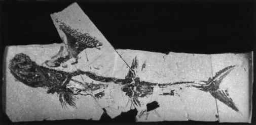 1420_106_209-carboniferous-shark-spine.jpg