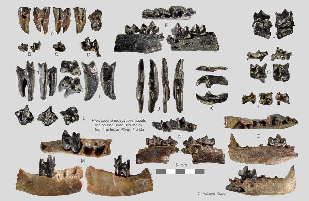 5a4a552ba2f27_MerrittIslandInsectivorefossils.thumb.jpg.15f87b7d53f761e343b4684927225188.jpg