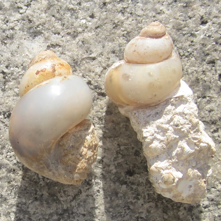 Fossil ~ Agate Snails Pic1 Top.jpg