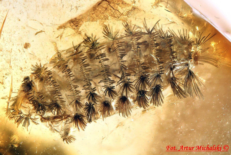 3425 Polyxenidae 1a tiny amber.jpg