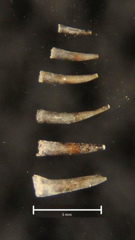 5a6e2ab668e36_Mollusca-Scaphopoda(2).thumb.JPG.1307cb2ba2703491aeb33996006b1a51.JPG