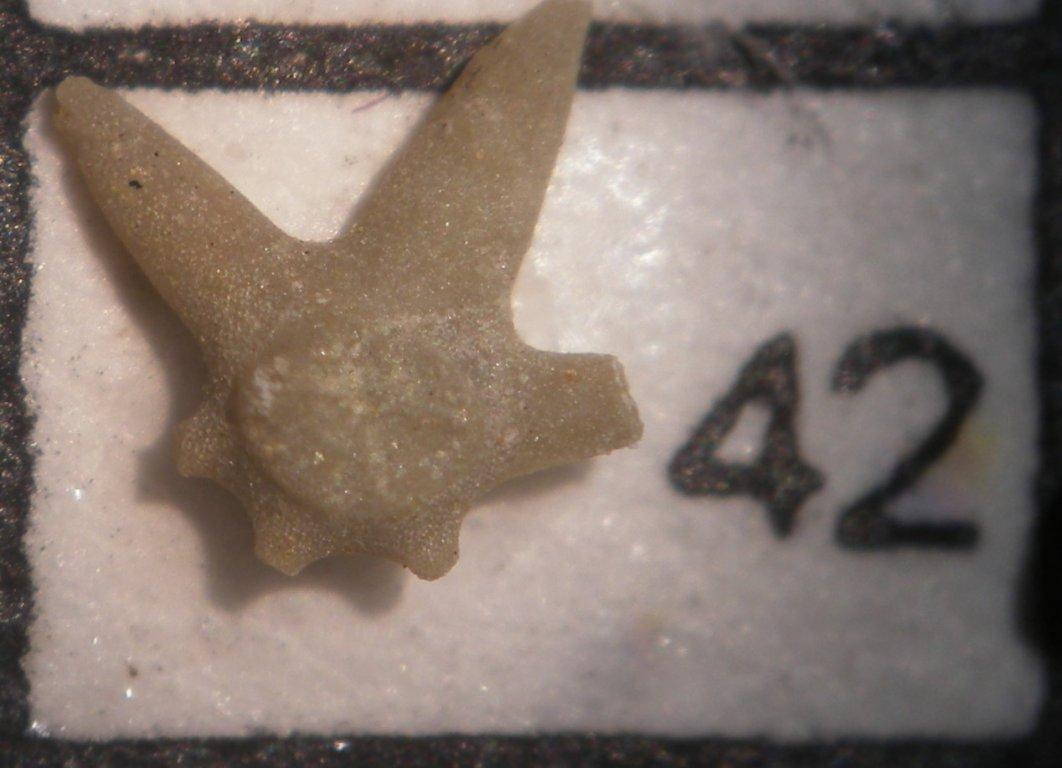 Crinoid stem section-Miss.New Providence-Scott Co.#42.jpg