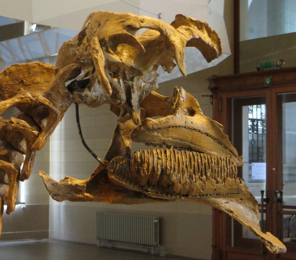 Amurosaurus_skull_56.thumb.JPG.285ee8bf605cbe2fa2d836032850b641.JPG