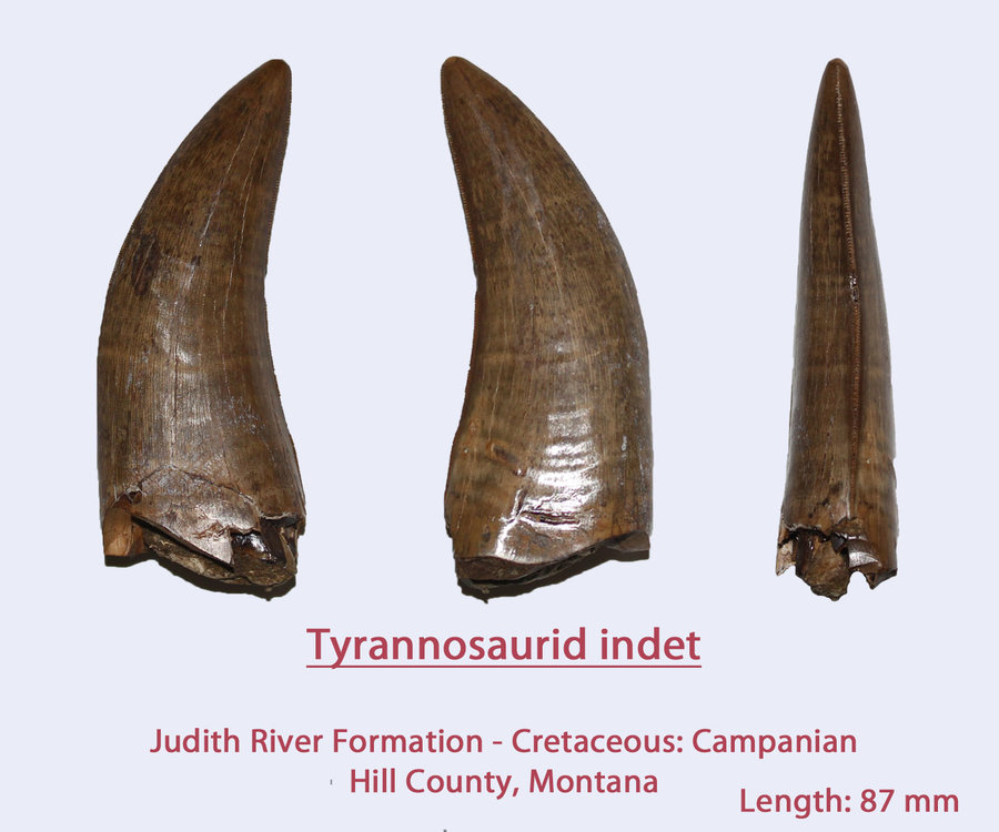 TyrannoTeeth3.thumb.jpg.5fd55783c771d1174590c3c41bec8604.jpg