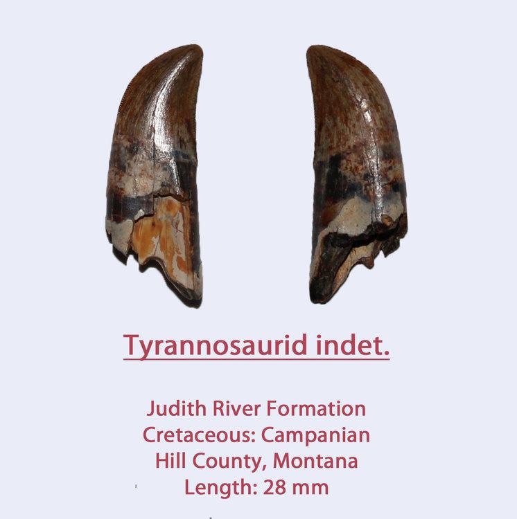 TyrannoTeeth4.thumb.jpg.97340022e6c98753a5055bddebcd09fd.jpg