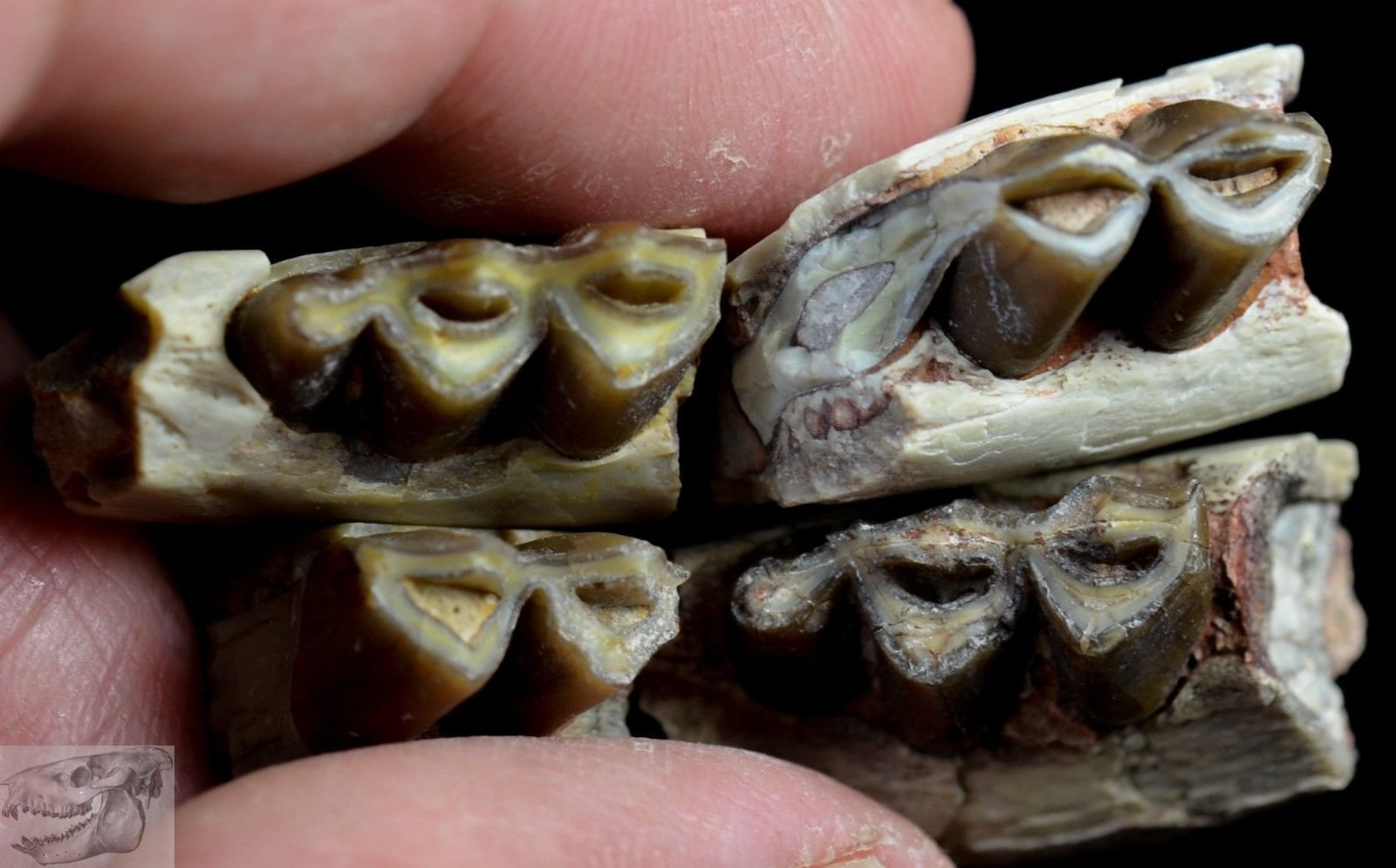 Poebrotherium4 Single Teeth - Early Camel Fossil 1.jpg