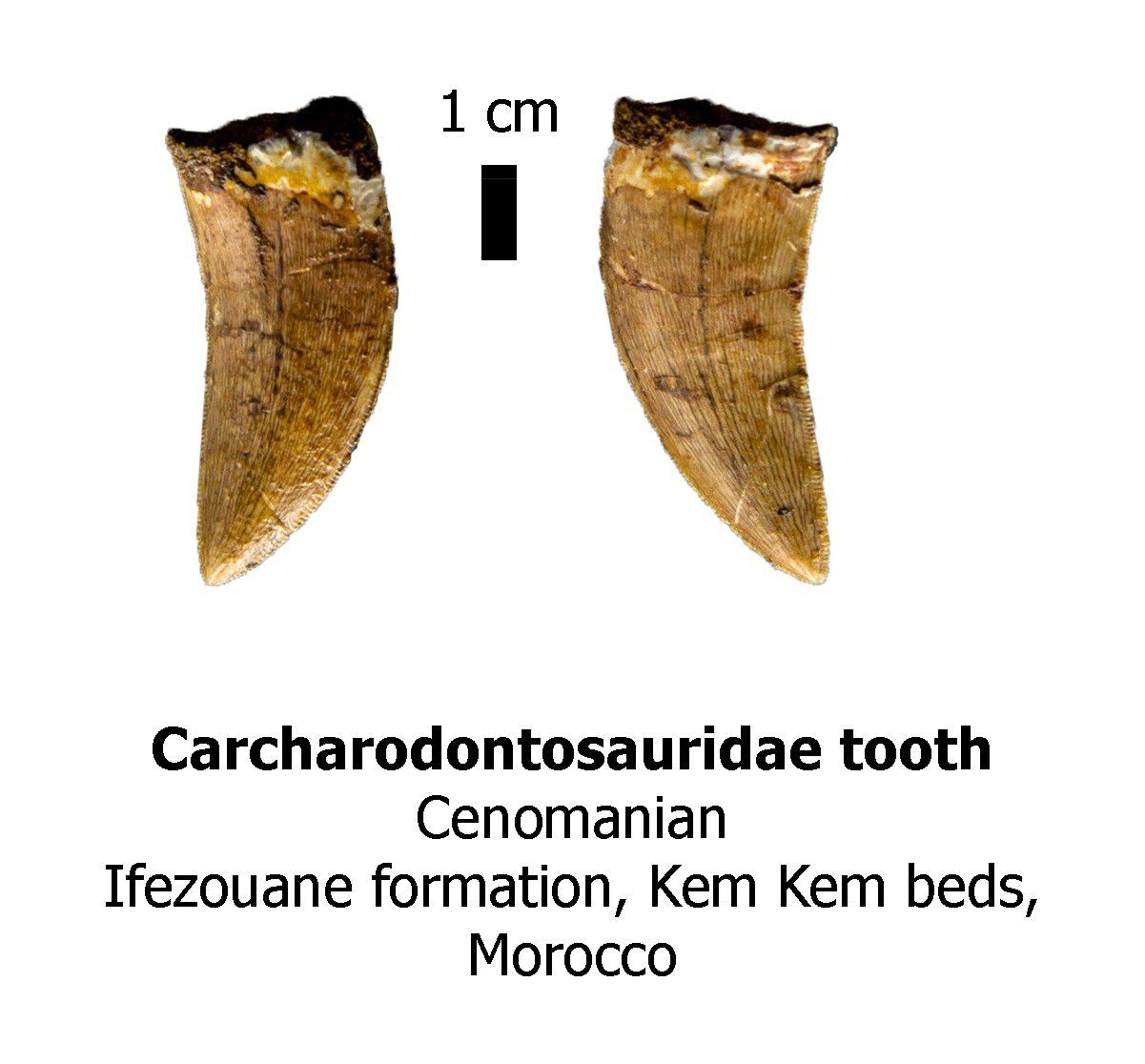 Carcharodontosaurid