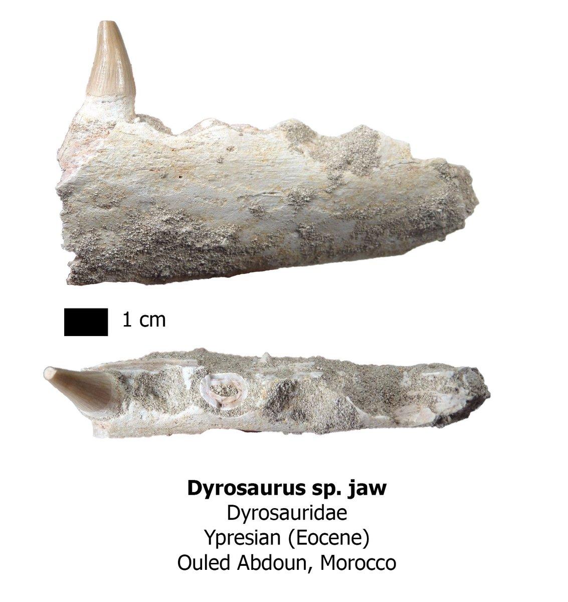 Dyrosaurus jaw