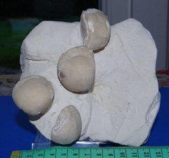 Block of Echinocorys Gravesii