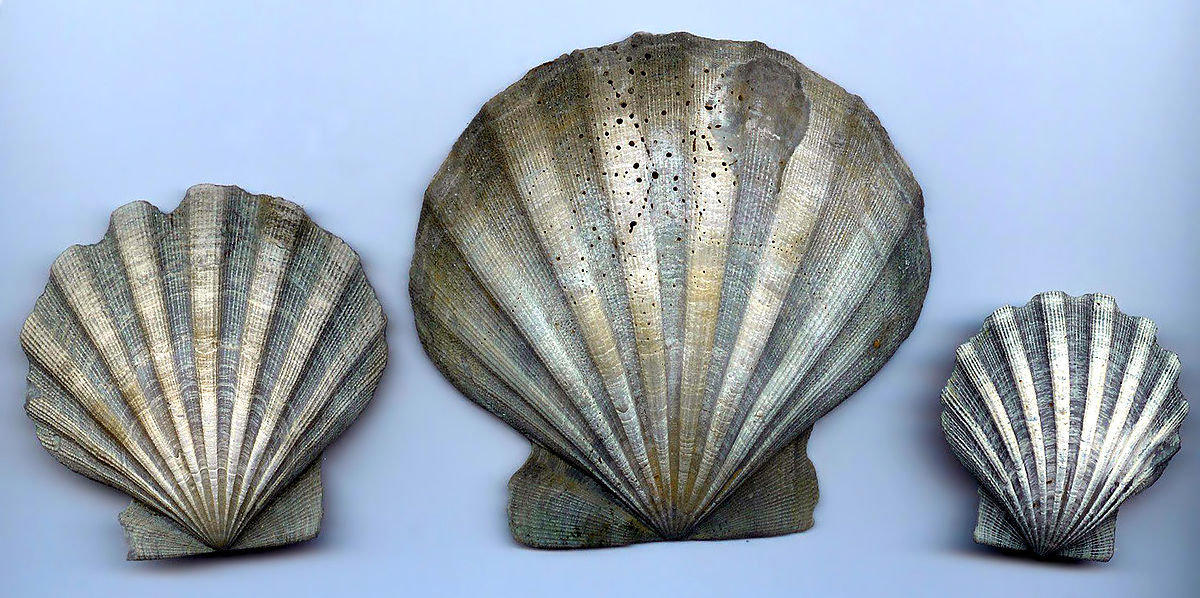 1200px-Chesapecten_Jeffersonius_Outside.jpg.3ec13ad959d55fcfdb68c9bc08b861d8.jpg