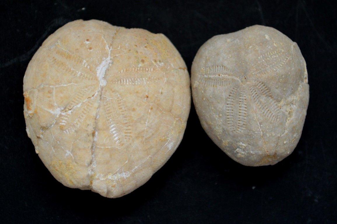 2-RARE-Oligocene-echinoids-sea-urchins-seeigel-Eupatagus.jpg