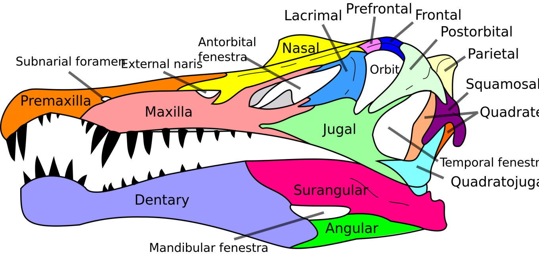 2000px-Spinosaurus_skull_en_svg.thumb.png.982894cd0a76f4c6020a771ba292a951.png