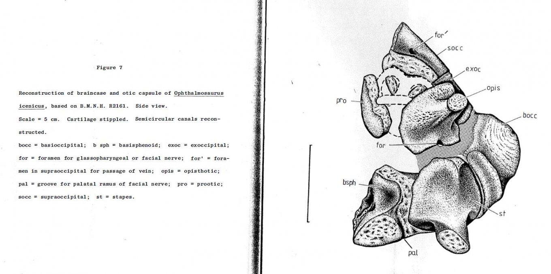 Braincase and otic capsule Ophthalmosaurus.jpg