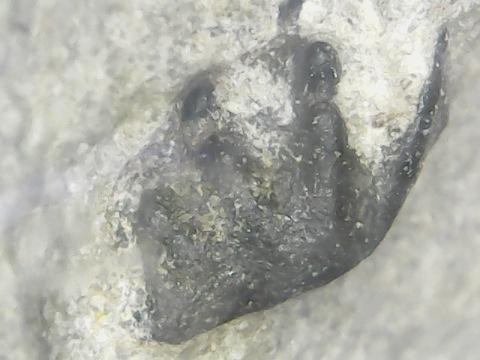 unidentified lungfish famennian 4.jpg