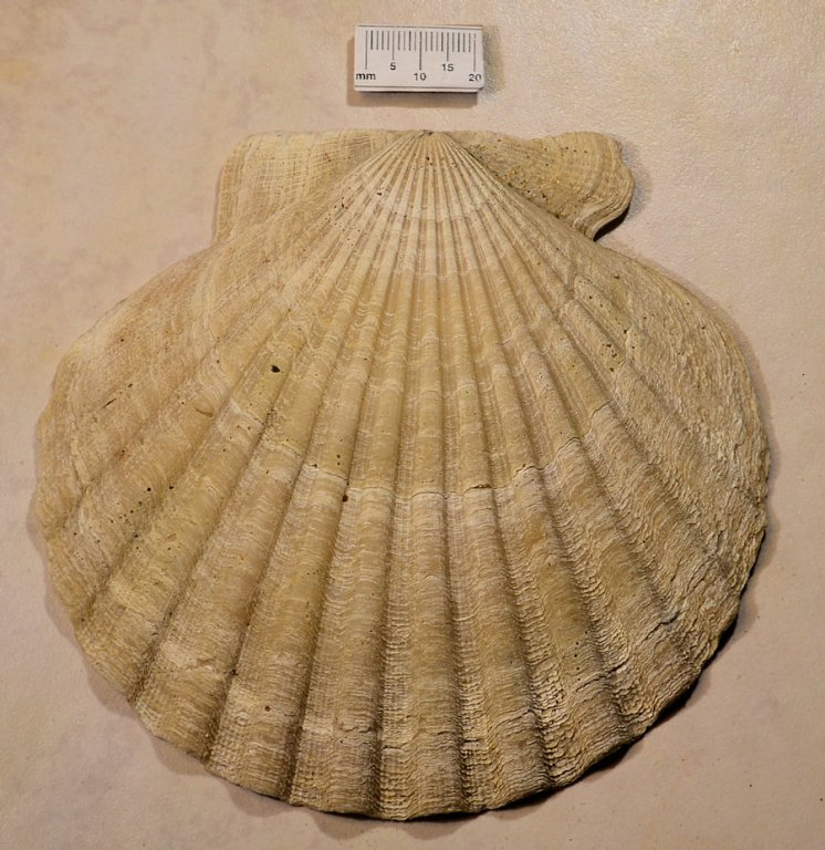 Plio-Chesapecten madisonius-exterior.JPG