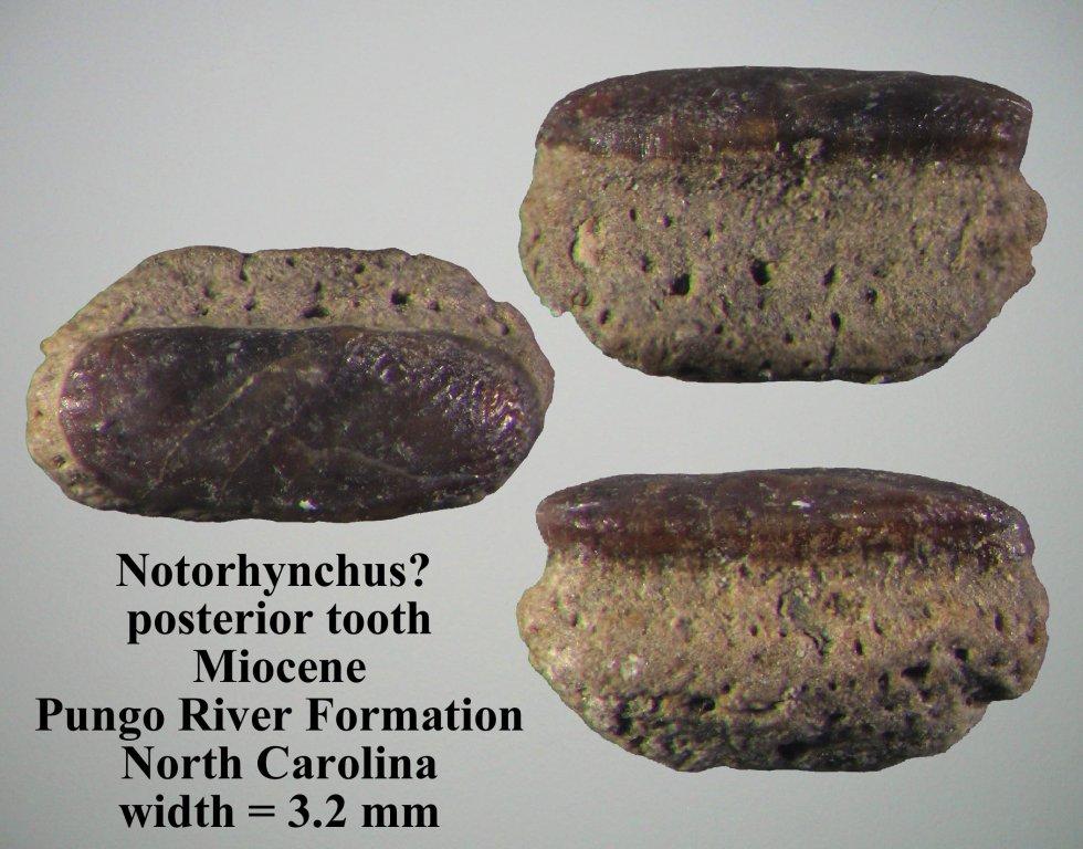 NotorhynchusBack.jpg