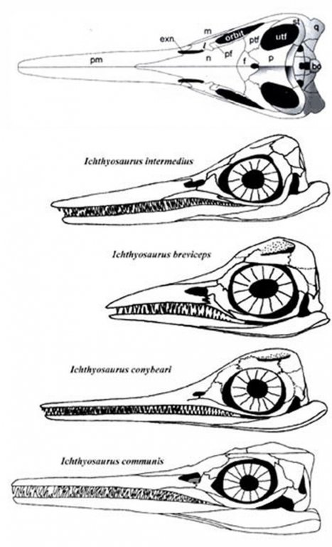 ichthyosaurus-skulls-lateral350.thumb.jpg.ca3d4b0d03d288ffc3173fd74fe006fb.jpg