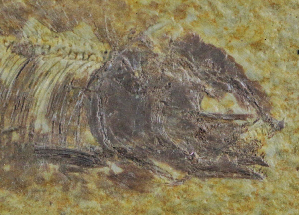 Phareodus encaustus fish fossil