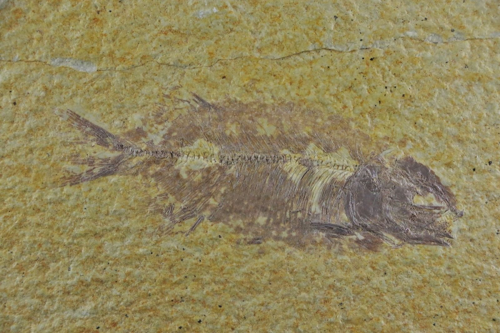 Phareodus encaustus fish fossil